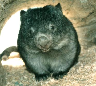 wombat - Technically sexy.